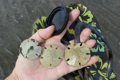 Sand Dollars in Santa Catalina, Panama